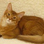 【尻尾がもふもふ】ソマリってどんな猫?なつっこく甘えん坊なソマリをご紹介