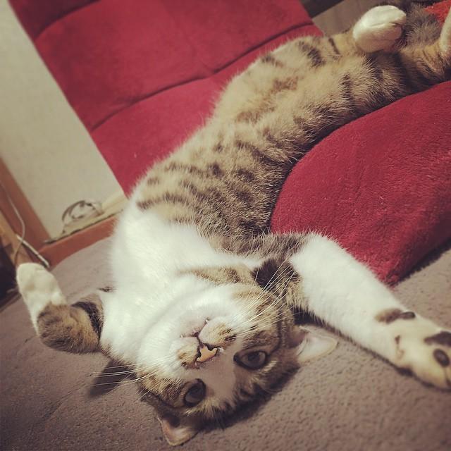 【だらり猫特集】だらりん、脱力。どこまでもリラックスする♪
