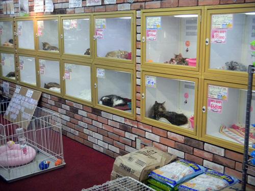 猫を飼うときに迷うこと。猫のブリーダーとペットショップの違いは?