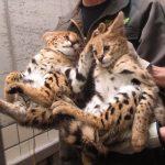 【多摩動物公園】「サーバル」の双子ちゃん子猫に会いに行こう♪