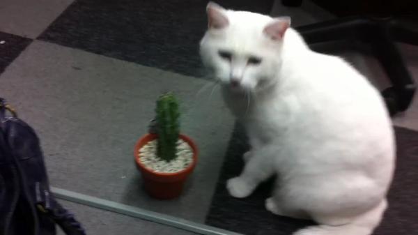 刺激的な味(物理)に、猫ちゃん夢中! 口の中は大丈夫??