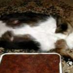 !!?? もはや太ってるっていうレベルじゃない! おデブ猫トップ5