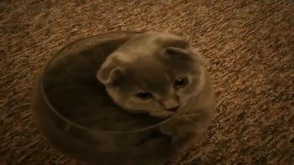 どうしても入りたい! 金魚鉢に入るために試行錯誤するがんばり屋な猫ちゃん
