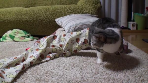 パジャマにおじゃま。おもちゃで誘導されて、まんまと出てくる猫
