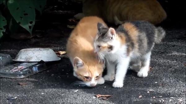よちよち歩きの赤ちゃん猫(*´艸`*)兄弟仲良くごはんを探す姿が可愛すぎ♪