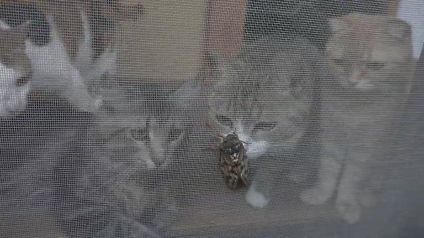 セミを捕まえたい猫ちゃん達・・・!!網戸越しに見えるセミをなんとかしてこの手に・・・出来ないにゃ~!