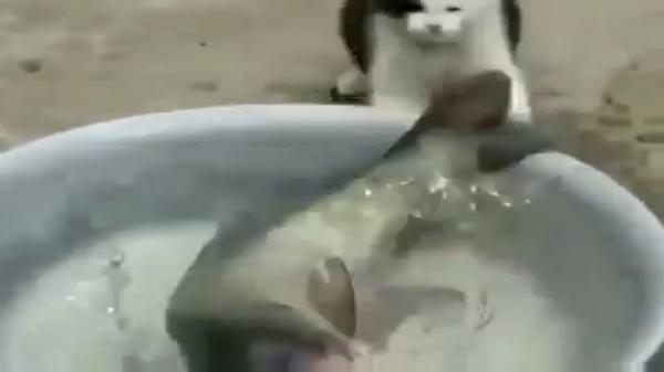 獲物はちょっとデカすぎた・・・(笑)自分より大きな魚を盗もうとする食いしん坊猫ちゃん!!