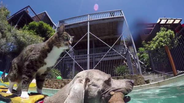 サーファー猫?!犬の背中に乗りバランスをとりながらプールをスイスイ~!ナイスコンビ!