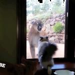 【衝撃映像】猫とピューマがこんにちは・・・。家の外に親戚がやってきた?!こ、こわすぎるんですけど・・・