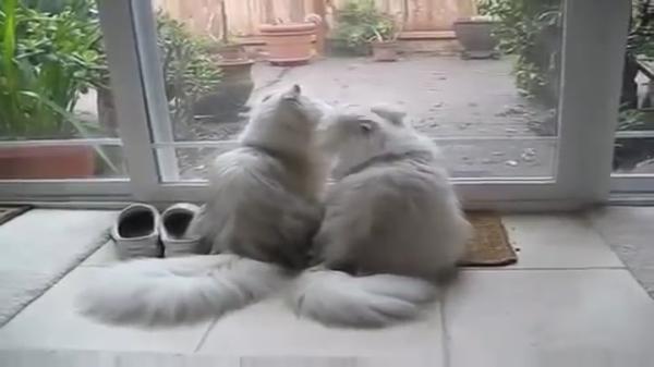 窓の前で仲睦まじいカップル・・・♡もっふもふでソックリな二匹の優雅な昼下がり♪