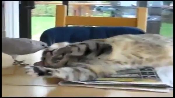キジバトに無理やり起こされるニャンコ・・・。「もういい加減にしてー!」猫パンチも効果なし・・・