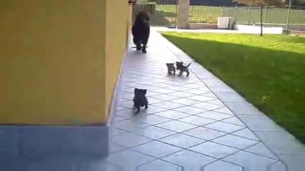 子猫「ママー!」犬「ママじゃないよ~(汗)」生まれてまもない子猫ちゃん達にヨチヨチ歩きで追いかけられる大型犬。