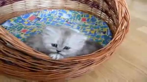 「たすけて~」あとひと踏ん張りだけどよじ登れない!兄弟と一緒にかごの中で眠りたい子猫ちゃん♡