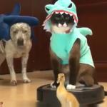 【おもしろ動画】サメの着ぐるみをした猫ちゃんがルンバに乗って優雅にガチョウを追い回す?!ジンベイザメ姿のワンコも登場