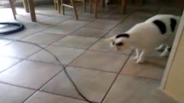 掃除機のコードにビビりまくりの猫ちゃん!驚きのあまり吹っ飛び!!オーバーリアクションで飛び跳ねる姿が面白かわいい♡
