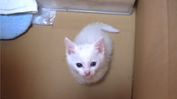 鳴き声フェチ必見♪かわいい声で鳴く白猫ユキちゃんが可愛すぎ(*´艸`*)