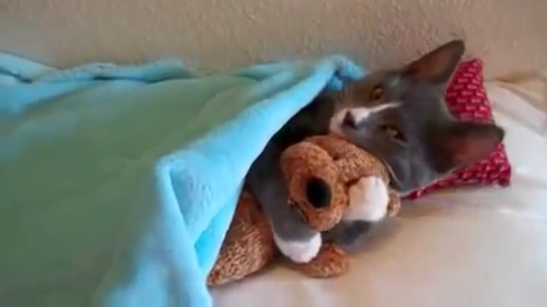 ぬいぐるみをギュッと抱きしめながら猫サイズのお布団の上で眠そうな子猫ちゃん♡どれだけかわいいの~!!