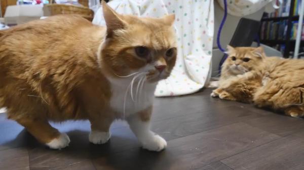 気持ちよさそうにブラッシングしてもらう猫ちゃん。「なに見てんのよアンタ!」と他の猫をお怒り。