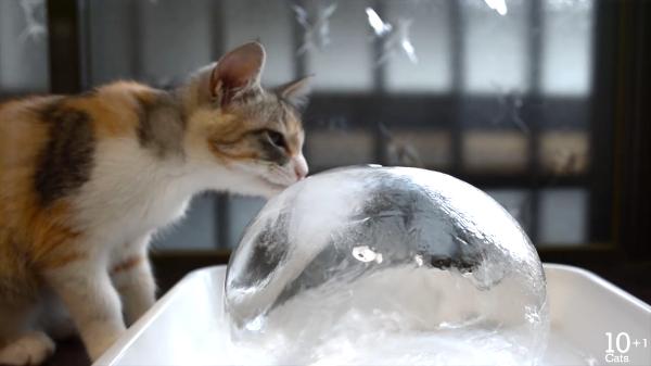 氷のボールが家にやってきたー!!みんなでペロペロ♪猫ちゃん達に大人気の巨大アイスボールで夏もへっちゃら!!