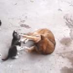 心震える映像。母猫が古くからの友達である犬に生まれたての子猫たちを紹介。