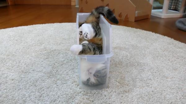 どうしてそこへ・・・?細めの透明プラスチックケースに入り込む猫が丸見え。