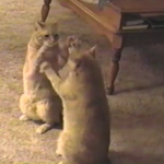 シンクロ率100%!?手遊びをする2匹の猫がまるで鏡みたい♪