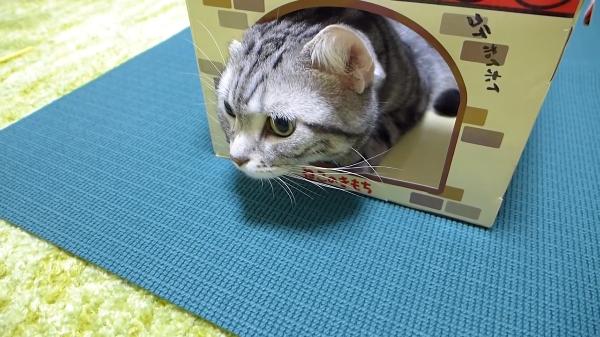 ダンボール猫ハウスに入っている猫がなんだかカタツムリっぽくて面白い( ´,_ゝ`)