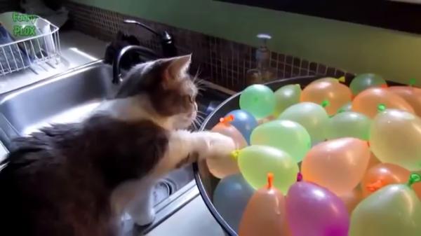 猫VS風船。割れたときのリアクションが面白すぎ(*^_^*)