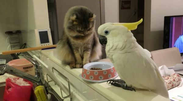 「ご飯残ってますよ?」猫のご飯を気にするオウムと、気まずそうな猫www