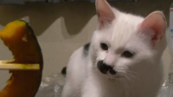 まるでおじさんのヒゲのような模様をした猫が飼い主さんのお食事をずっと見つめてる♪