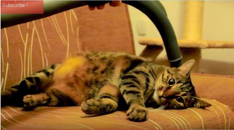 天国にゃのだ!本当に、掃除機に吸われるのが大好きな猫!