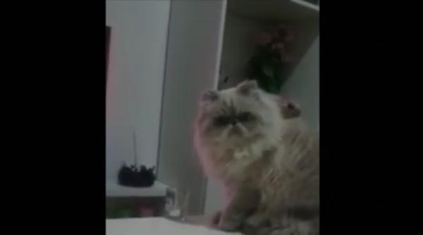 飼い主の「やめて!」を聞いた後にわざとグラスを落とす確信犯なネコwひどいwww