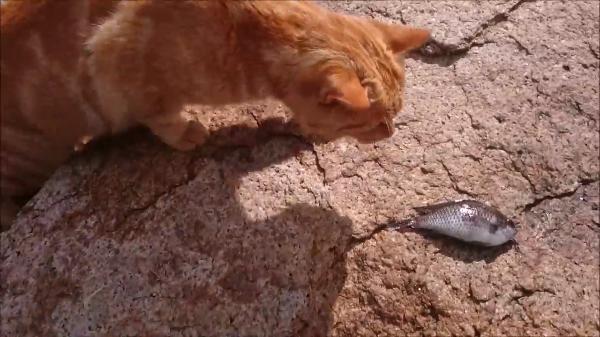 大追跡!お魚をもらった猫は何処に持っていくのか?カメラが見たものは!?