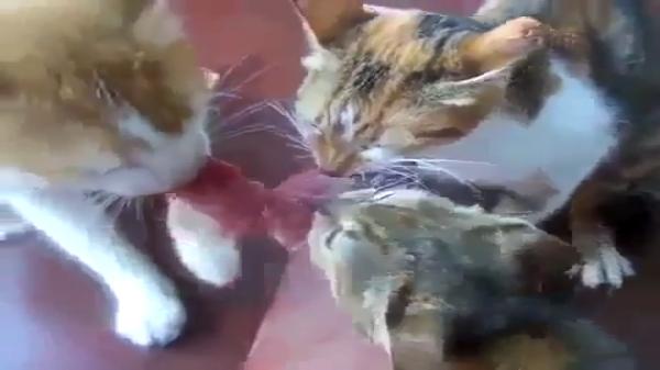 これは誰にも渡さニャい!肉を奪い合い3匹の猫が面白い状態にwww