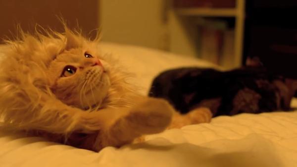 猫?ライオン!?たてがみを生やした小さい猫が可愛すぎ♪