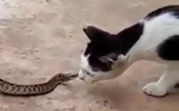 これぞ弱肉強食!?蛙に食べられる蛇にちょっかいだす猫w訳が分からないwww
