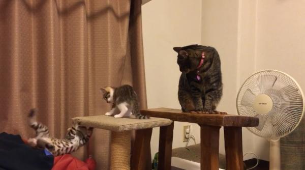 ちょっとお前ら少し落ち着けw遊びまわる子猫と対応に困っている成猫www