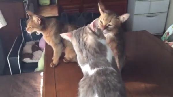 自分より大きな後輩猫の先輩の鏡!かと思いきや衝撃のラストwww