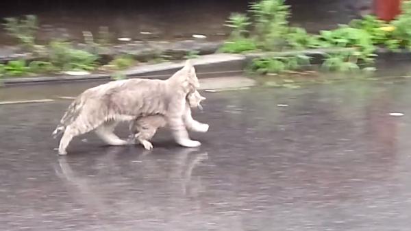 雨から我が子を守れ!急いで子猫を運ぶ母猫の愛が溢れていて思わず感動