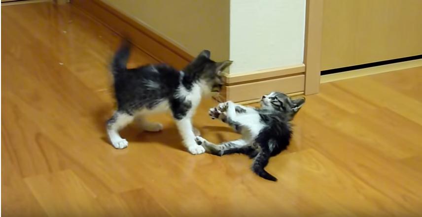 1か月子猫の仁義なき戦い!お姉ちゃんに反撃ニャのらっ!