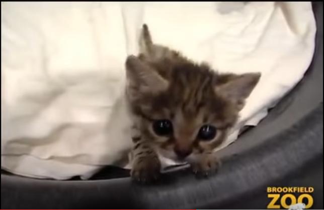 よちよち歩きにキュン♡世界最小のヤマネコ【クロアシネコ】の赤ちゃん♡