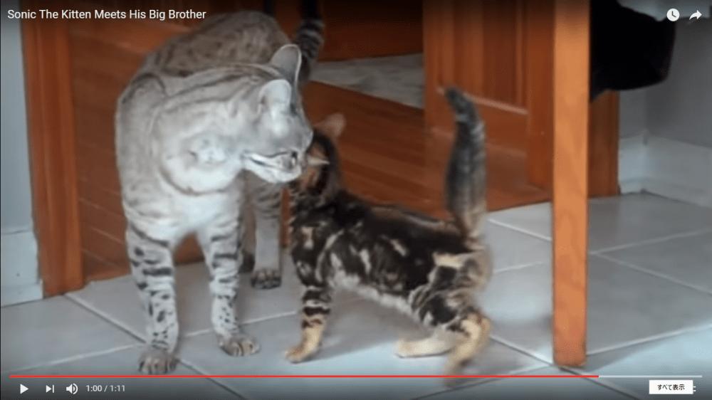 初めてお兄ちゃん猫に会った子猫ちゃん♪徐々に縮まる距離感に期待♡