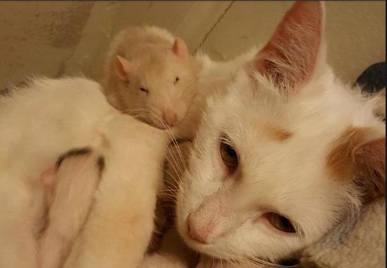 種を越えた親友♡猫の子育てをサポートするネズミ
