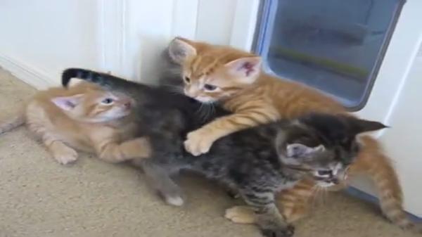 子猫ちゃんたちのケンカ勃発!しかしそれを止めたのは意外にも○○