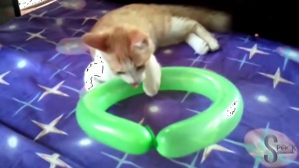 「にゃんだコレ!楽し・・・ヒッ!?」風船と遊ぶ猫たちがカワイイ♡