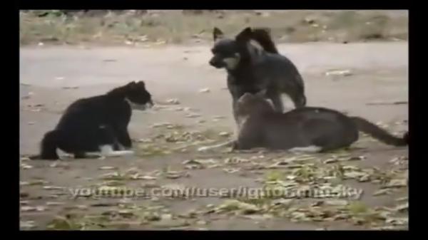 猫達のマジ喧嘩が勃発!!しかし、犬のおまわりさんに叱られてピタッと喧嘩をやめちゃいましたwww
