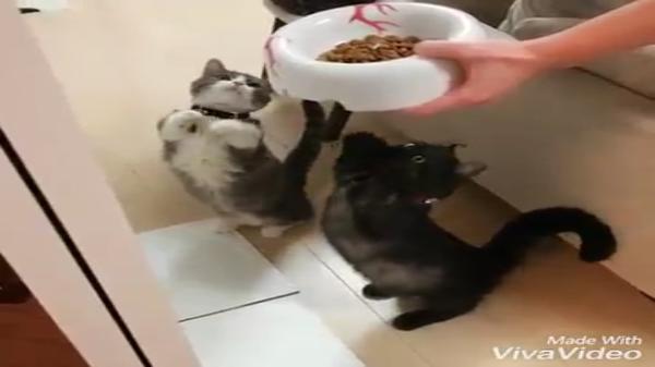 短足はステータスだ☆立ち上がってご飯をおねだりするマンチカンの猫ちゃんが可愛すぎっ♡