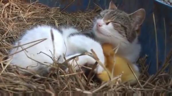 3羽のアヒルの赤ちゃんのママは猫!?子猫と一緒にアヒルの赤ちゃんを育てるママ猫が素敵すぎる♡