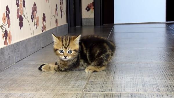 おもちゃのネズミと追いかけっこ♪子猫ちゃん、初めての狩りの練習♪