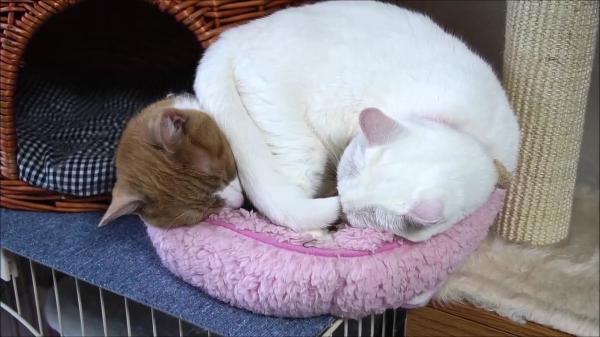 1匹用猫ベッドで寝る茶トラ猫さんの隙間に無理矢理入った白猫さん!窮屈になったら茶トラさんの上に乗って寝ちゃったwww